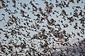 Mexican free-tailed bats exiting Bracken Bat Cave (8006835856).jpg