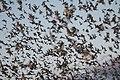 Mexican free-tailed bats exiting Bracken Bat Cave (8006835856).jpg
