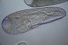 Blepharisma - Wikipedia
