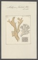 Millepora forskali - - Print - Iconographia Zoologica - Special Collections University of Amsterdam - UBAINV0274 111 07 0006.tif