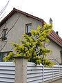 Mimosa de la coulée verte de Colombes D2015-03-22 a.jpg