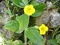 Mimulus moschatus 1.jpg