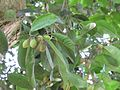 Mimusops elengi (Medlar or Spanish cherry) tree in RDA, Bogra 05.jpg