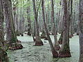 Mississipi Cypress Swamp 2 (8728783145).jpg