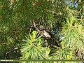 Mistle Thrush (Turdus viscivorus) (27635997544).jpg