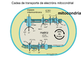 Mitochondrial electron transport chain-gl.png