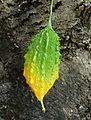 Momordica charantia – Bitter Melon (6418189965).jpg