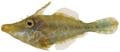 Monacanthus tuckeri - pone.0010676.g194.png