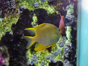 English: Golden damsel (Amblyglyphidodon aureu...