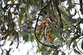 Monarch Butterflies Overwintering in Pacific Grove, California (30828811974).jpg