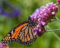 Monarch Butterfly (15760062291).jpg