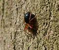 Money Spider - Gongylidium - Flickr - S. Rae.jpg