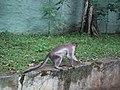 Monkey from Bannerghatta National Park 8562.JPG
