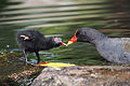 Moorhen feeding chick.jpg