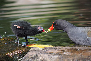 Regurgitation (digestion) - Moorhen chick being fed regurgitated food by an adult