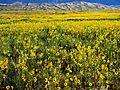 Morning Light, Prairie Sunflowers and Dunes (29410414185).jpg