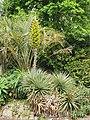 Morrab Gardens - Puya chilensis.jpg