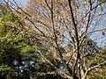 Morris Arboretum Carpinus cordata.JPG