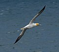 Morus bassanus -flight-8b.jpg