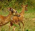 Mother Deer & fawn.jpg