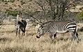 Mountain Zebras (Equus zebra) (51578181363).jpg