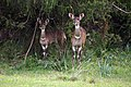 Mountain nyala, Bale Mountains National Park (1) (29294133455).jpg