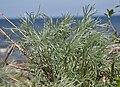 Mrzezyno Artemisia campestris littoral 2010.jpg