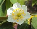 Muntingia calabura flower1.jpg