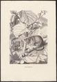 Muscardinus avellanarius - 1700-1880 - Print - Iconographia Zoologica - Special Collections University of Amsterdam - UBA01 IZ20400175.tif