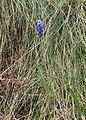 Muscari neglectum kz01.jpg