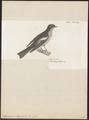 Muscicapa luteola - 1700-1880 - Print - Iconographia Zoologica - Special Collections University of Amsterdam - UBA01 IZ16500173.tif