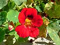 My Garden Flower 05.JPG