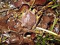Myobatrachus gouldii01.jpg