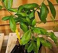 Myrica pensylvanica leaf (02).jpg