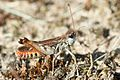 Myrmeleotettix maculatus.jpg