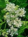 Myrrhis odorata 003.JPG