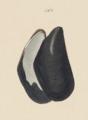 Mytilus trossulus Gould 1856 pl41 fig567.png