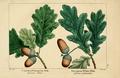 NAS-002 Quercus robur.png