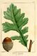 NAS-004f Quercus macrocarpa.png