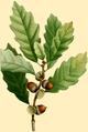 NAS-011g Quercus prinoides.png