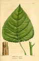 NAS-094f Populus deltoides.png