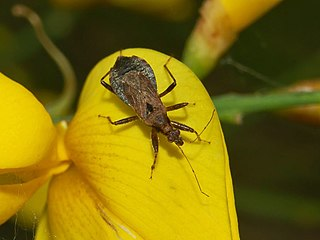 <i>Himacerus mirmicoides</i> species of insect