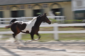 English: A horse running with background blurred.