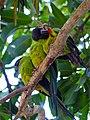 Nanday Parakeets (Nandayus nenday) (31632253492).jpg