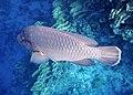 Napoleon-Lippfisch (Cheilinus undulatus)..DSCF4775BE.jpg