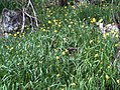 Narcissus muñozii-garmendiae habitat 2.jpg