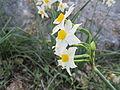 Narcissus tazetta 01.JPG