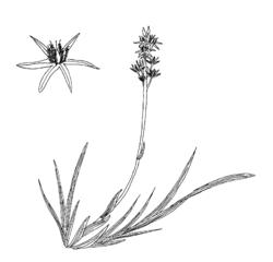 Narthecium ossifragum.png