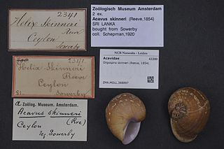 <i>Oligospira skinneri</i> Species of gastropod