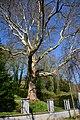 Naturdenkmal 063 2014-03-29 (40) Wien14 Bujattigasse15A Platanus x hybrida GuentherZ.JPG